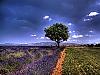 Provence, Champs de Lavande sur le plateau de Valensole